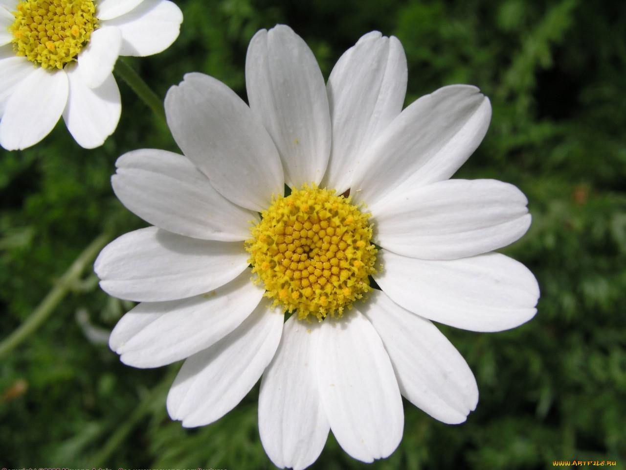 искать картинки цветы ромашка для создания